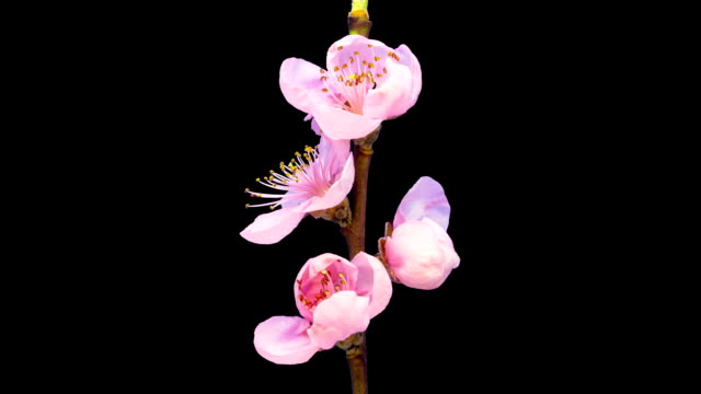 vídeos de stock e filmes b-roll de hd timelapse of an peach fruit tree flower growing of a black background. blooming flower on chroma key background, cut out background - botão estágio de flora