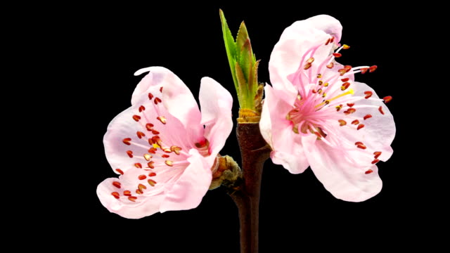 HD timelapse of an peach fruit tree flower growing of a black background. Blooming flower on chroma key background, cut out background