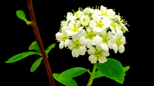 hd timelapse of an thornapple tree flower growing of a black background. blooming flower of crataegus. - thorn stock videos & royalty-free footage