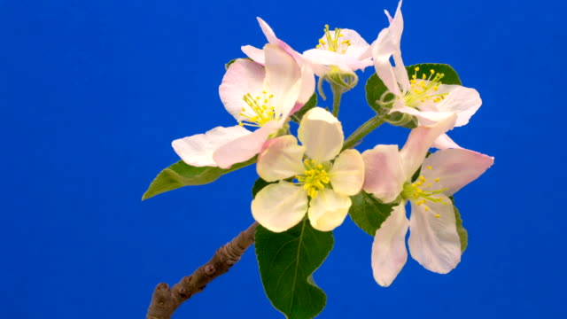 HD timelapse of an Wild apple tree flower growing of a blue background. Blooming flower on chroma key background, cut out background