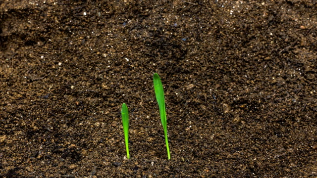 time-lapse of barley sprouting / gyeonggi-do, south korea - germinating stock videos & royalty-free footage