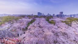 Time-lapse of beautiful cherry blossom flowers over urban city in blue sky