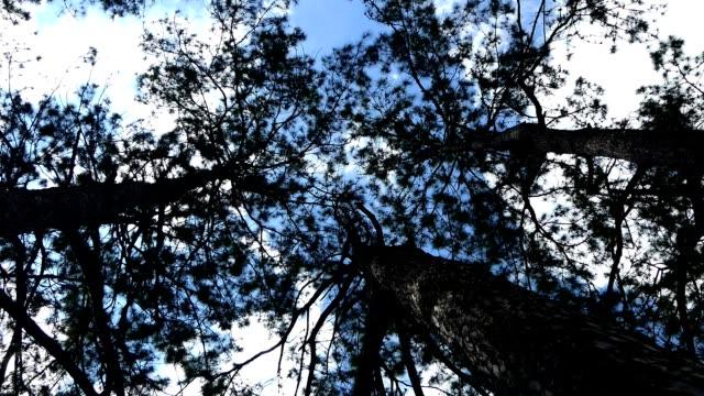 大きな木が青空のタイムラプス - 松の木点の映像素材/bロール