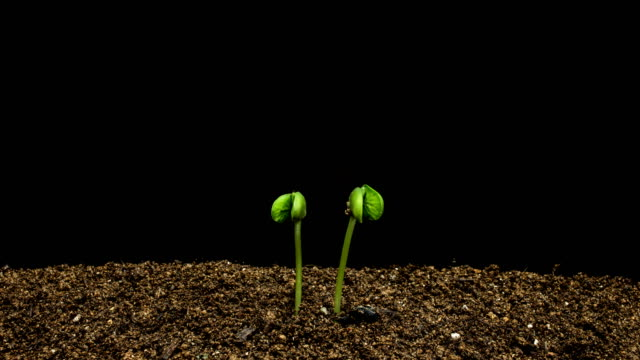 time-lapse of black bean sprouting / gyeonggi-do, south korea - emergence stock videos & royalty-free footage