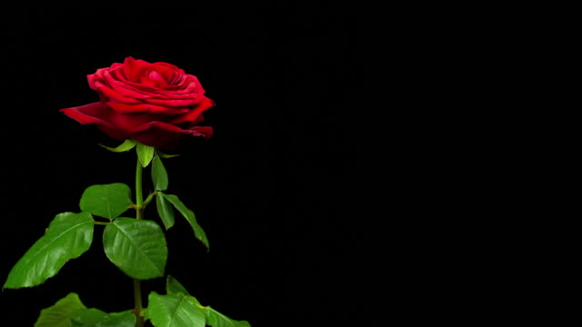 time-lapse of dying red rose 4k - decay stock videos & royalty-free footage