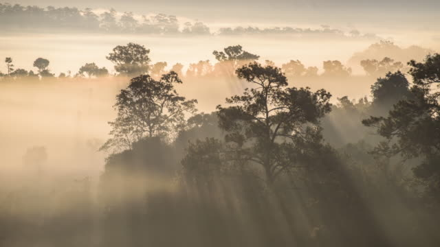 vídeos de stock e filmes b-roll de timelapse of flowing mist with sun ray over tree at thung salaeng luang national park with mist in the forest, phitsanulok and phetchabun provinces of thailand - floresta pluvial