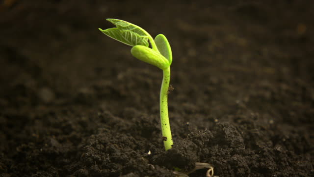 Time-Lapse of germinating bean