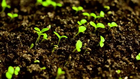 zeitraffer von auskeimen salat - zeitraffer stock-videos und b-roll-filmmaterial