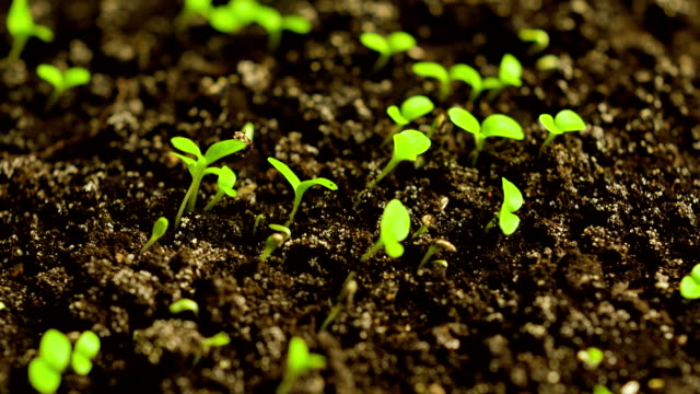 stockvideo's en b-roll-footage met time-lapse of germinating lettuce - gewas