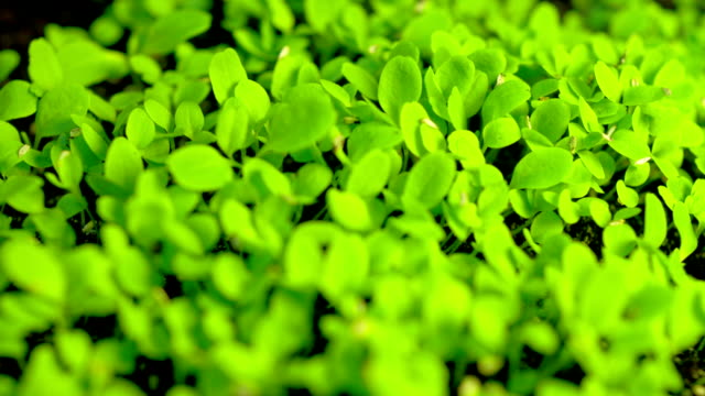 time-lapse of germinating lettuce - germinating stock videos & royalty-free footage