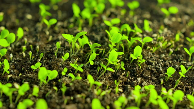 time-lapse of germinating lettuce - plant stock videos & royalty-free footage
