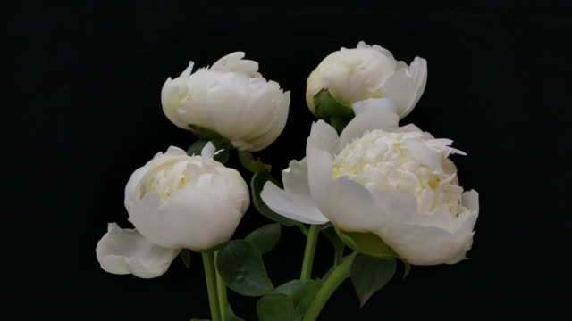 time-lapse of group of white peonies blooming on black background. - bouquet stock videos & royalty-free footage