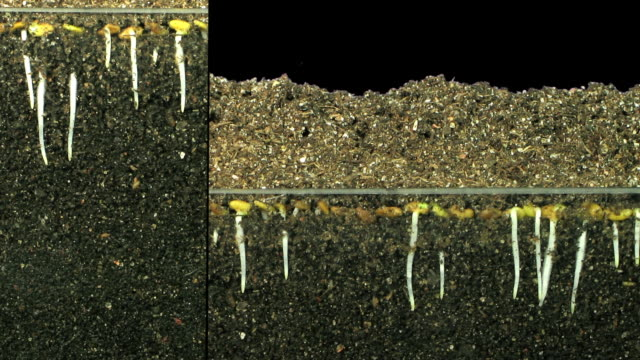 Timelapse of growing alfalfa (Medicago sativa, genus: Medicago, family: Fabaceae) vegetable sprouts and leaves with visible underground roots. Available with a transparent background