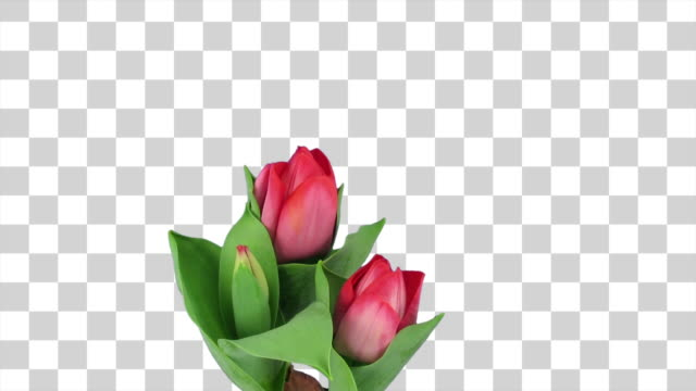 Timelapse of growing and opening red tulip (genus: Tulipa, family: Liliaceae) in a pot. Shooting took 7 days. This clip has a transparent background. Clip isolated on black is also available