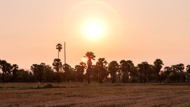 zeitraffer der ernte von reisfeldern mit zuckerpalme auf dem land bei sonnenuntergang - reisfeld stock-videos und b-roll-filmmaterial
