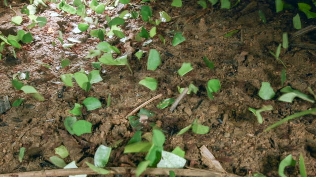 time-lapse of leaf cutter ants (atta sp.) carrying leaves to their nest - ant stock videos and b-roll footage
