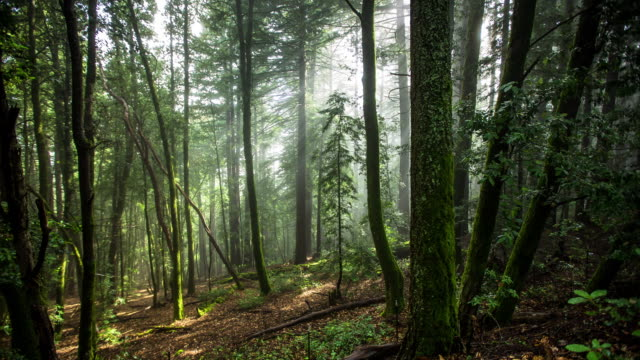 Timelapse of Misty Redwood Forest