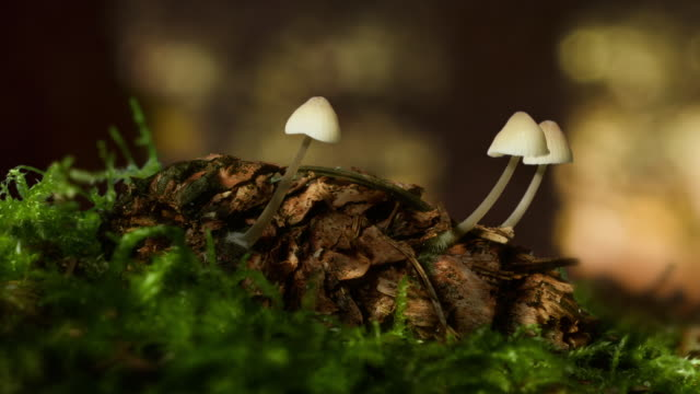 timelapse of mushrooms growing on pine cone - tallkotte bildbanksvideor och videomaterial från bakom kulisserna