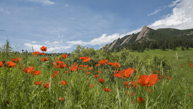 timelapse of poppy flowers at chautauqua park in boulder, co - boulder stock videos & royalty-free footage