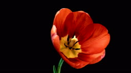 Timelapse of red tulip flower blooming on black background.