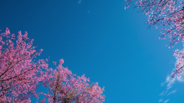 Time-lapse of Spring Cherry Blossom Branches with Blue Sky Backgrounds