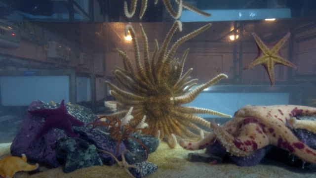 time-lapse of starfish and other sea creatures moving in a tank - sea anemone stock videos & royalty-free footage