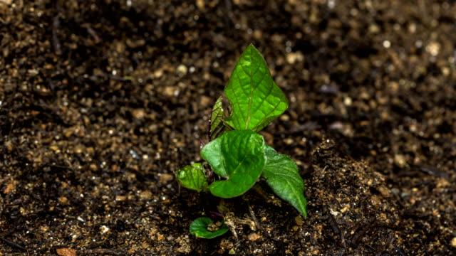time-lapse of sweet potato sprouting / gyeonggi-do, south korea - bud stock videos & royalty-free footage