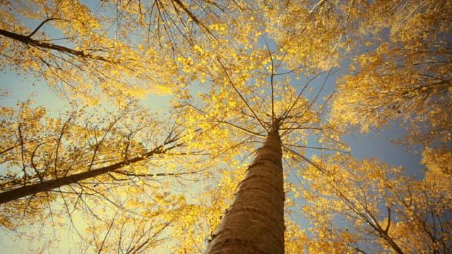 vídeos de stock, filmes e b-roll de intervalo de tempo de árvore de outono nos eua - outono