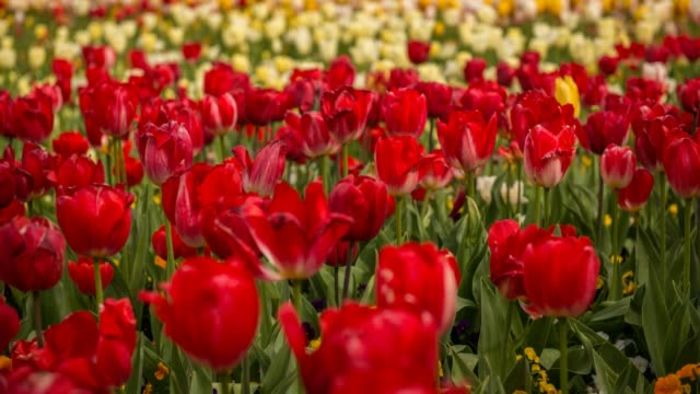 timelapse of tulip flower - canberra stock videos and b-roll footage