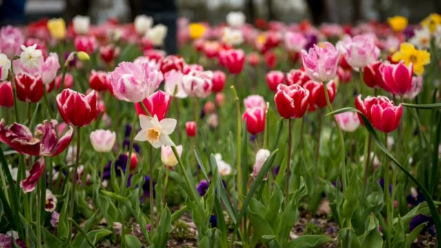 timelapse of tulip flower - canberra stock videos & royalty-free footage