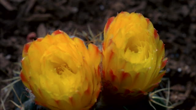 Timelapse of yellow cacti flowers blooming and then closing. Available in HD.