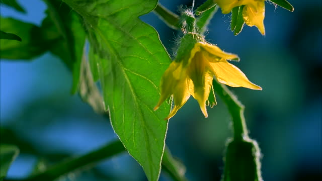 timelapse of yellow flowers on a tomato plant blooming and retracting. available in hd. - tomato stock videos & royalty-free footage