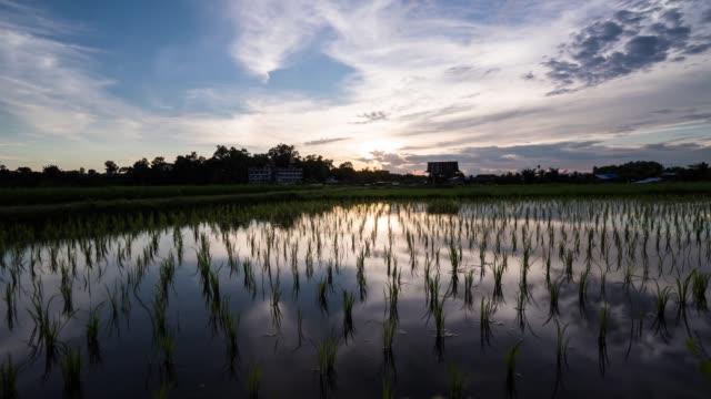 vídeos y material grabado en eventos de stock de campos de arroz paddy de lapso de tiempo que reflejan el cielo de la puesta del sol y el arroz que se balancea en el viento. - campo de arroz