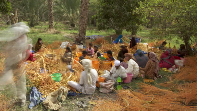 Timelapse people process dates during harvest, Oman