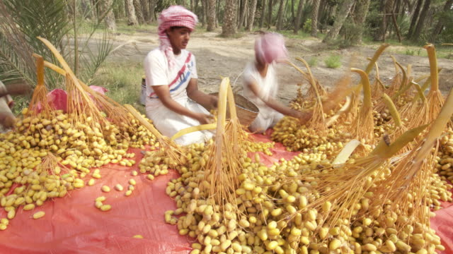 timelapse people process dates during harvest, oman - oman stock videos & royalty-free footage