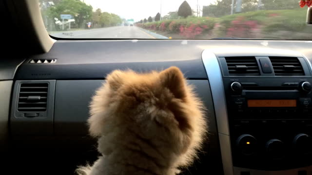 time-lapse, pomeranian dog travel on car - dog hair stock videos and b-roll footage