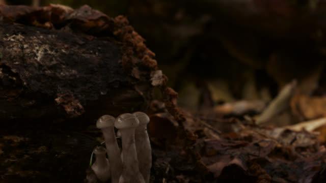timelapse porcelain fungus (oudemansiella mucida) fruit bodies emerging, uk - fungus stock videos & royalty-free footage