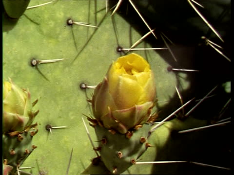 timelapse prickly pear cactus, opuntia polyacantha, opening, flashes of bees, usa - prickly pear cactus stock videos & royalty-free footage