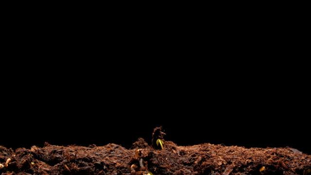 timelapse radish growth - crucifers 個影片檔及 b 捲影像
