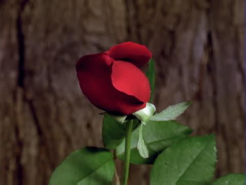 timelapse red rose bud - single rose stock videos & royalty-free footage