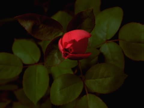 vidéos et rushes de timelapse red rose - bouton de fleur