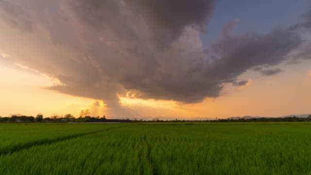 4K time-lapse : Rice field and sunbeam on sunset