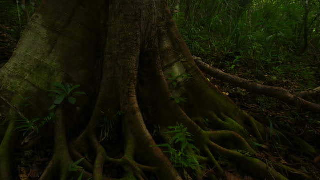 'Timelapse shadows shift over buttress roots on forest floor, Philippines'