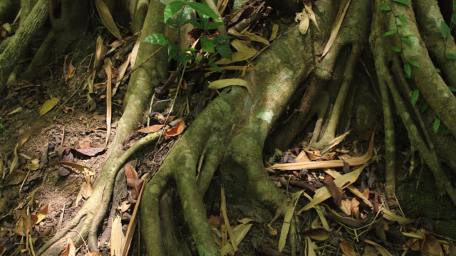 vídeos y material grabado en eventos de stock de timelapse shadows shift over rainforest floor and fig roots, megatha, myanmar - selva tropical