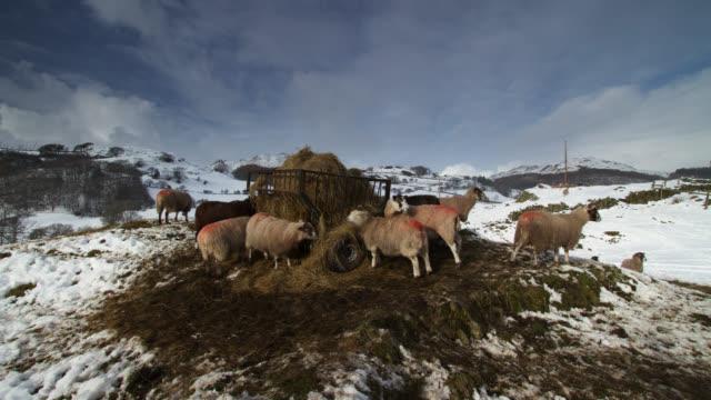 vídeos y material grabado en eventos de stock de timelapse sheep feed from hay trailer on snowy hill, lake district, uk - distrito de los lagos de inglaterra