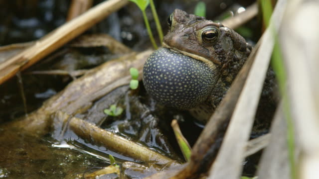 timelapse shot of an american toad croaking in the water - swamp stock videos & royalty-free footage
