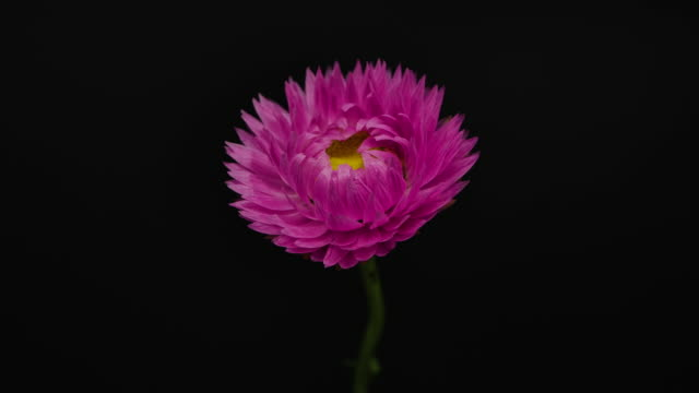 time-lapse shot of blooming pink flower in black background. - bouquet stock videos & royalty-free footage