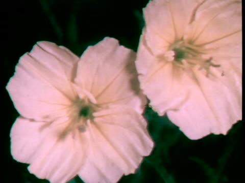 timelapse shows 2 small white flower grow from buds into full bloom / no audio / - eibisch tropische blume stock-videos und b-roll-filmmaterial