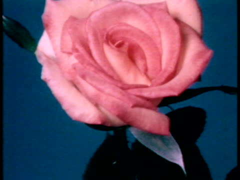 vídeos de stock, filmes e b-roll de timelapse shows a pink blush rose grown from a bud into full bloom / no audio / - blush