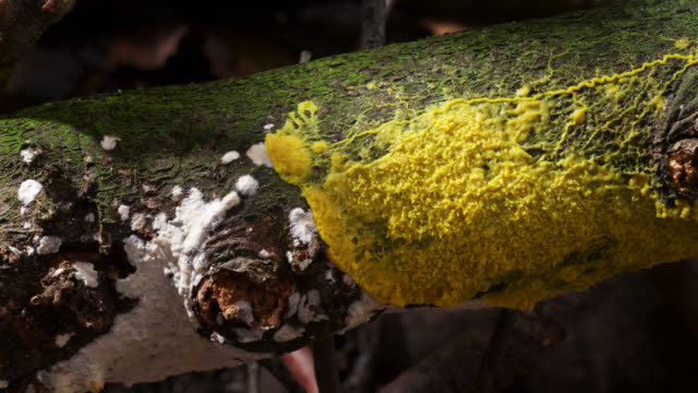 Timelapse slime mold (Myxogastria) plasmodium advances over fungus on rotting log, UK